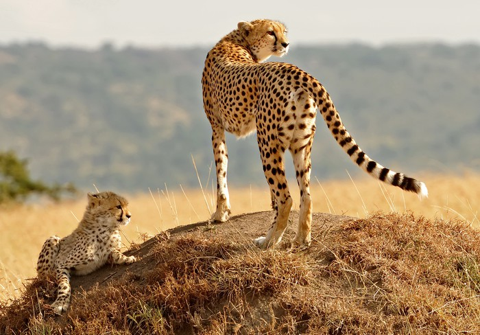 Nálepka Pixerstick Masai Mara Gepardi - Témata