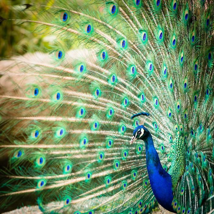 Fototapete Splendid Pfau mit Federn aus (Pavo cristatus) • Pixers ...