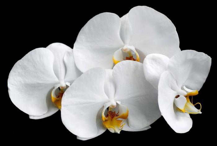 Vinylová Tapeta Bílé orchideje - Témata