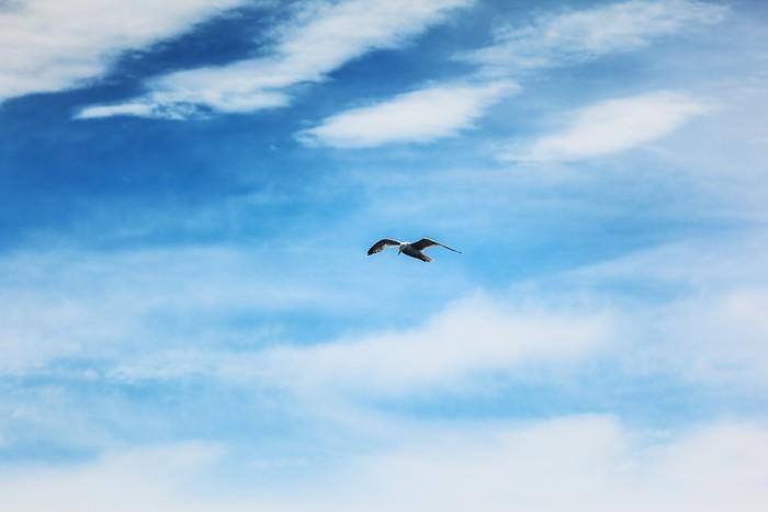 Vinylová Tapeta Racek pták létání v modré obloze - Ptáci