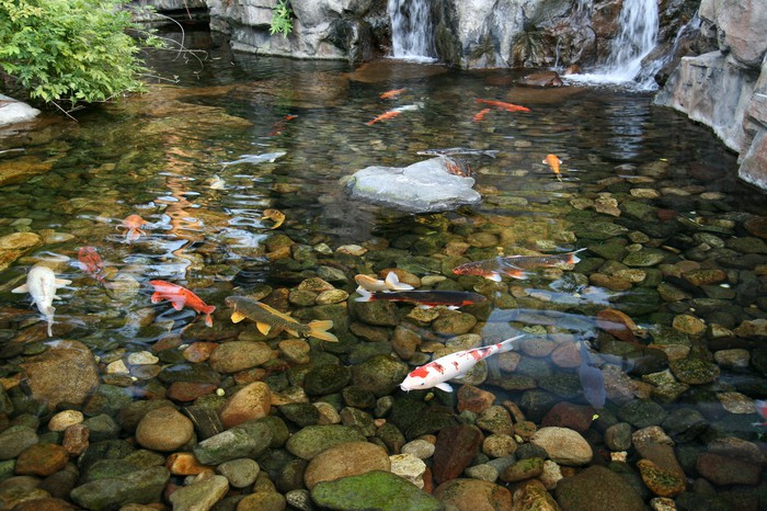 Fotomural estanque de peces koi koi son s mbolo japon s for Estanque japones