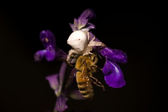 Vinylová fototapeta Pavouk jíst včela - Vinylová fototapeta