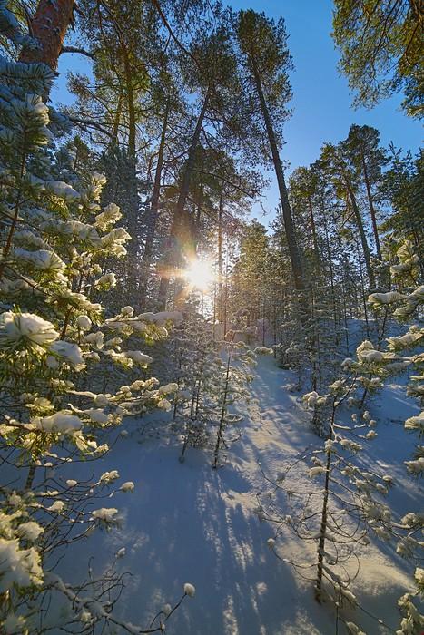 Vinylová Tapeta Slunce ve sněhu borovém lese - Lesy