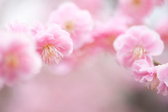 Vinylová Tapeta Prunus mume - Květiny