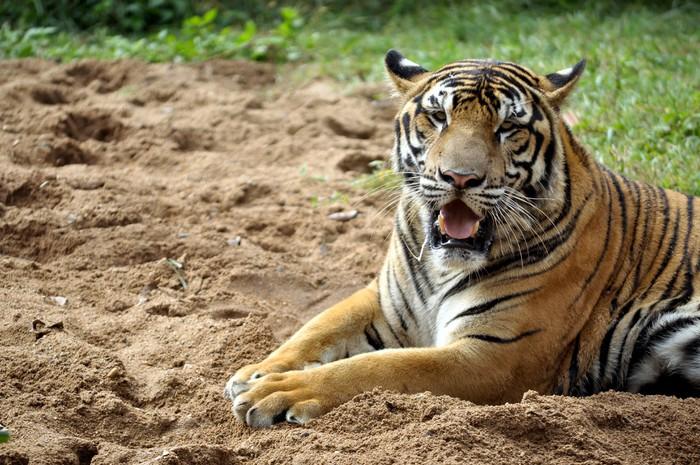 Vinylová fototapeta Bengal tiger - Vinylová fototapeta