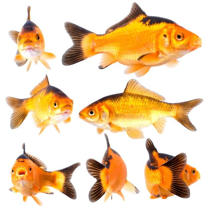 Vinylová Tapeta Goldfishg - Přírodní krásy