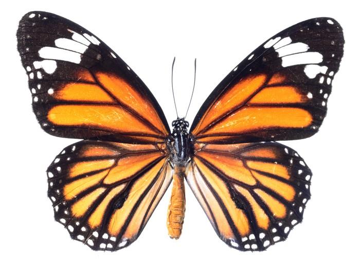 Vinilo Pixerstick Mariposa monarca aisladas sobre fondo blanco ...