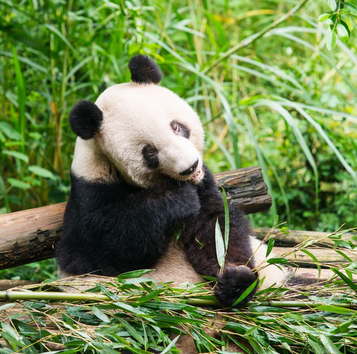 sticker panda g ant mangeant le bambou pixers nous. Black Bedroom Furniture Sets. Home Design Ideas