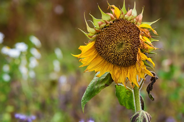 Vinylová Tapeta Faded slunečnice proti přírodním podzim pozadí - Roční období
