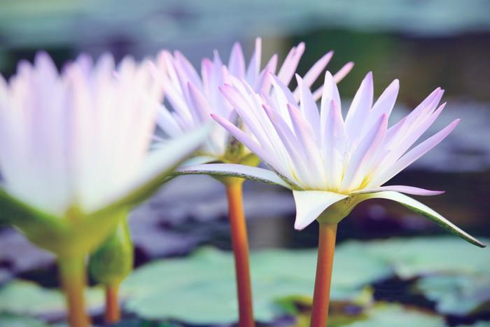 Vinylová Tapeta Close-up OFL růžový leknín (klasická stylu tónu) - Květiny