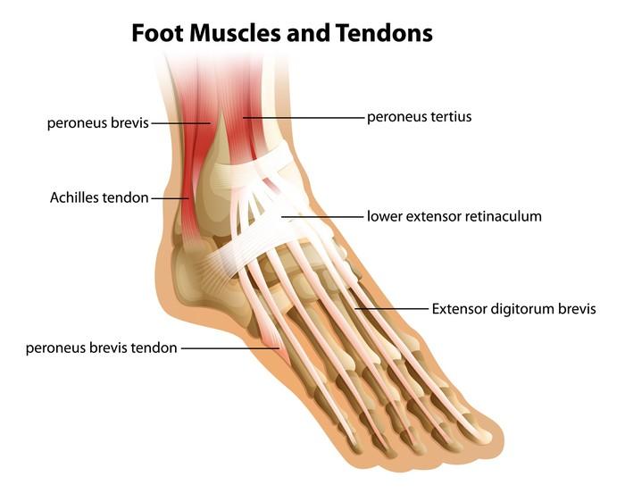 Aufkleber Fuß Muskeln und Sehnen • Pixers® - Wir leben, um zu verändern