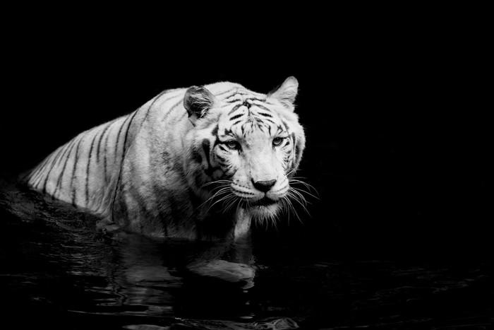 Vinylová Tapeta White tiger -