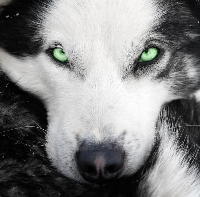 Carta da parati cane husky con gli occhi verdi pixers viviamo per il cambiamento - Husky con occhi diversi ...
