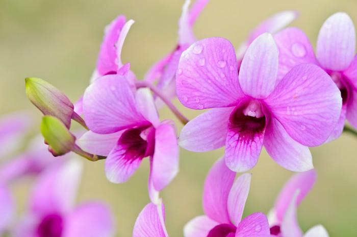 Carta Da Parati Rosa A Strisce : Carta da parati ibridi di dendrobium orchidea è strisce bianche e