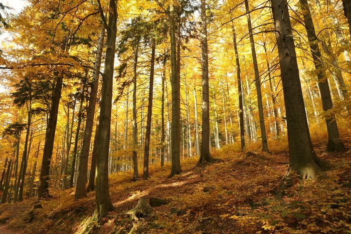 Vinylová Tapeta Podzimní buk lesní na horském svahu - Stromy