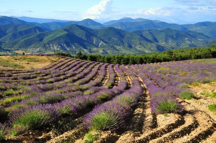 Vinylová Tapeta Levandulová pole. Provence, Francie - Francie