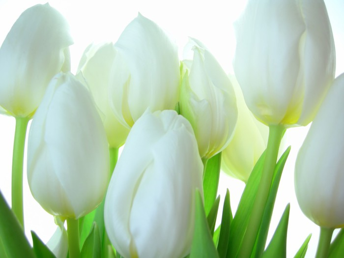 Close-up of bunch of white tulips on white background Wall Mural - Vinyl - Themes