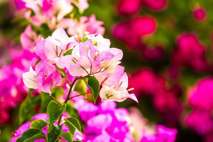 Vinylová Tapeta Popínavé rostliny kvetou v Thajsku Chiangmai - Květiny