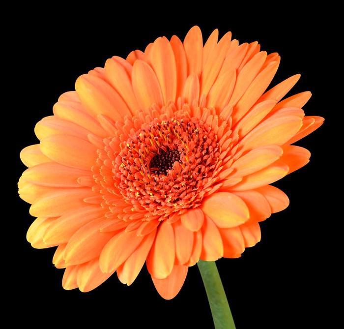 fototapete orange gerbera blume mit gr nem stiel isoliert auf schwarz pixers wir leben um. Black Bedroom Furniture Sets. Home Design Ideas