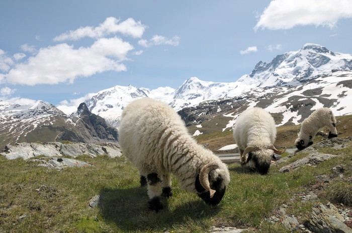 Vinylová Tapeta Ovce před Monte Rosa ve švýcarských Alpách - Evropa