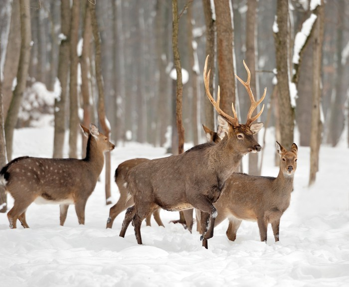 Deer in winter forest wall mural pixers we live to change for Deer wall mural