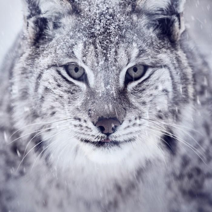 Papier Peint Vinyle Lynx regardant dans la caméra - Thèmes