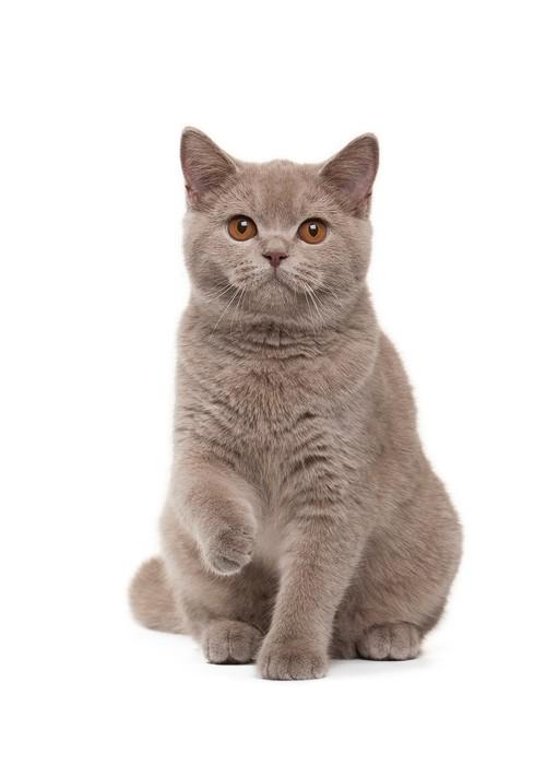 Vinylová Tapeta Mladá britská kotě na bílém pozadí - Témata