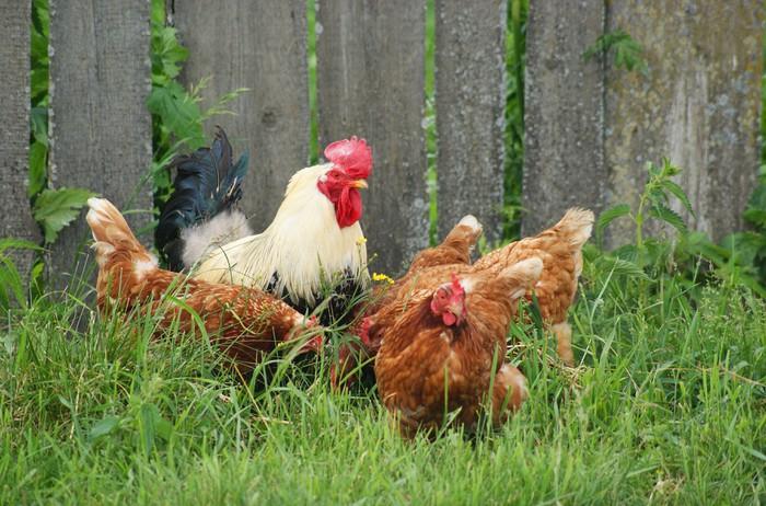 fototapete hens und hahn ber einen zaun auf einem gras. Black Bedroom Furniture Sets. Home Design Ideas