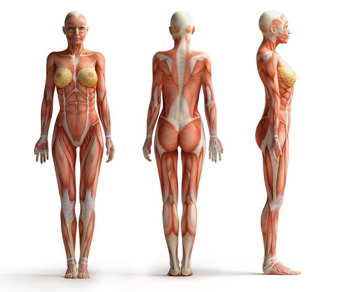 Fototapete Weibliche Anatomie Ansicht • Pixers® - Wir leben, um zu ...