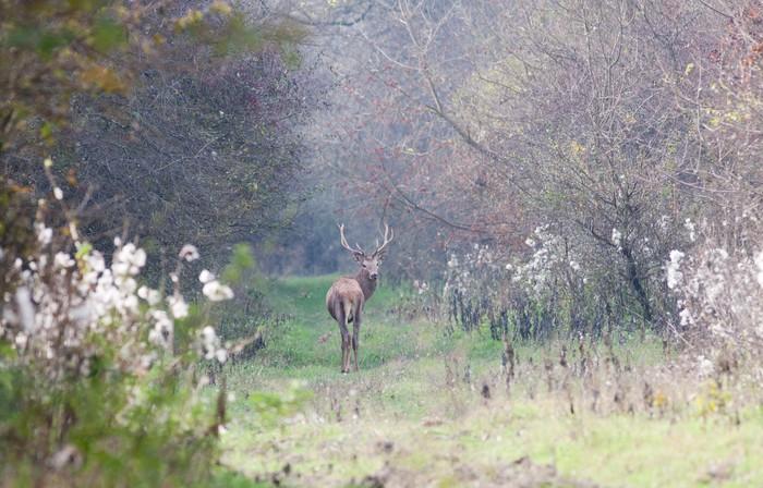 Vinylová Tapeta Red Deer procházky v lese - Příroda a divočina