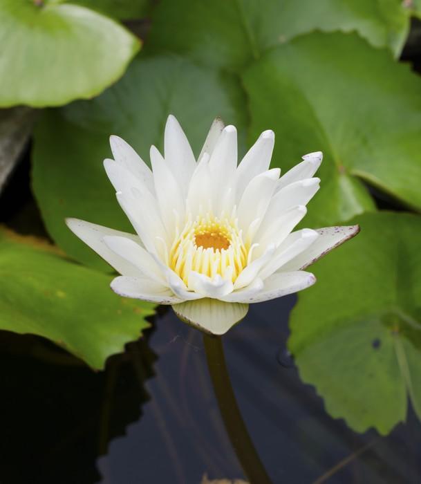 Vinylová Tapeta Krásné lotus v rybníku. - Květiny