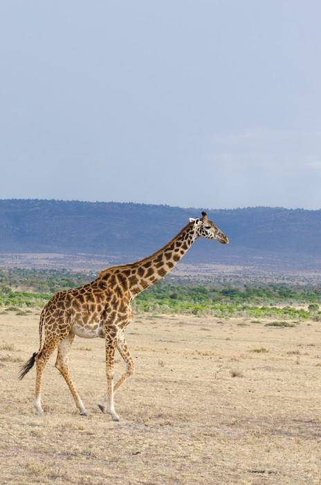 Vinylová Tapeta Mládě žirafy procházky kolem pastvin Keni - Témata