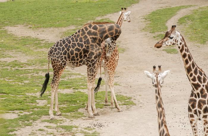 Vinylová Tapeta žirafy - Témata