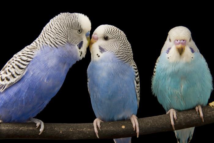 Vinylová Tapeta Tři andulky jsou v hnízdiště - Ptáci