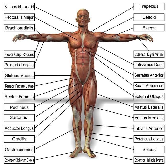 Vinilo Pixerstick Anatomía del hombre humano 3D con texto músculos ...