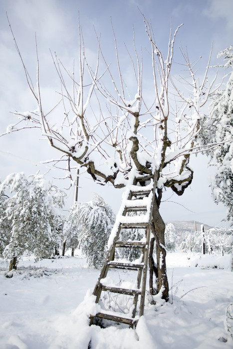 Vinylová Tapeta Žebřík opřený olivovníku ve sněhu - Roční období