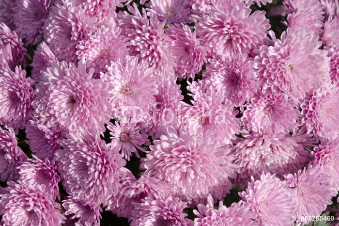 Vinylová Tapeta Růžové chryzantémy - pozadí. - Pozadí
