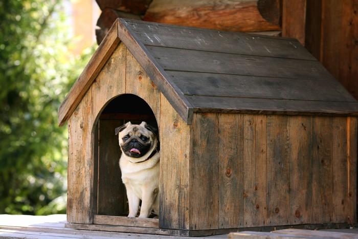 Vinylová Tapeta Funny mops pes do psí boudy - Savci