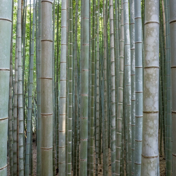 Bamboo forest in kyoto wall mural pixers we live to for Bamboo forest mural