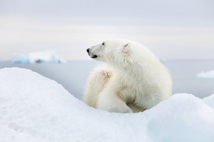 tableau sur toile ours polaire svalbard pixers nous. Black Bedroom Furniture Sets. Home Design Ideas