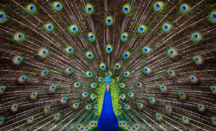 Portrait of beautiful peacock Wall Mural Pixers We live to change