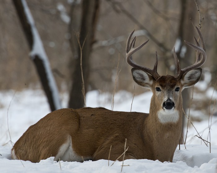Whitetail Deer Laying In The Snow Wall Mural Pixers