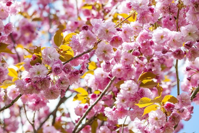Carta Da Parati Fiori Di Ciliegio : Carta da parati fiori di ciliegio sui rami di ciliegio primavera