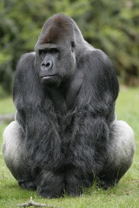Cuadro en Lienzo Gorila de llanura occidental, Gorilla gorilla ...