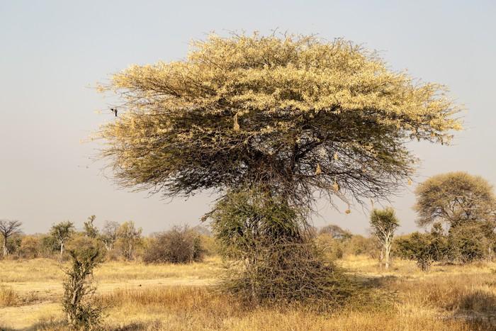 Vinylová Tapeta Typické africké Stromy v Tanzanii - Stromy