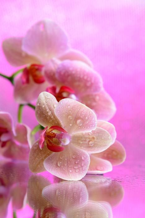vinilo pixerstick orquídeas en flor hermosa con gotas de agua