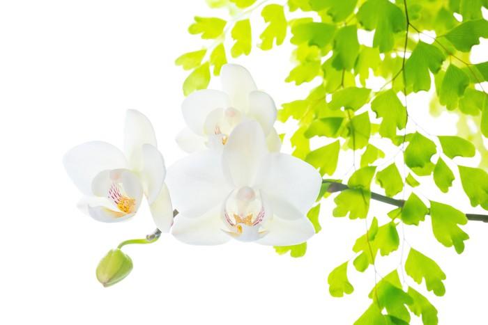 Vinylová Tapeta Kvetoucí bílá orchidej s listy kapradí, izolovaných na bílém zpět - Květiny