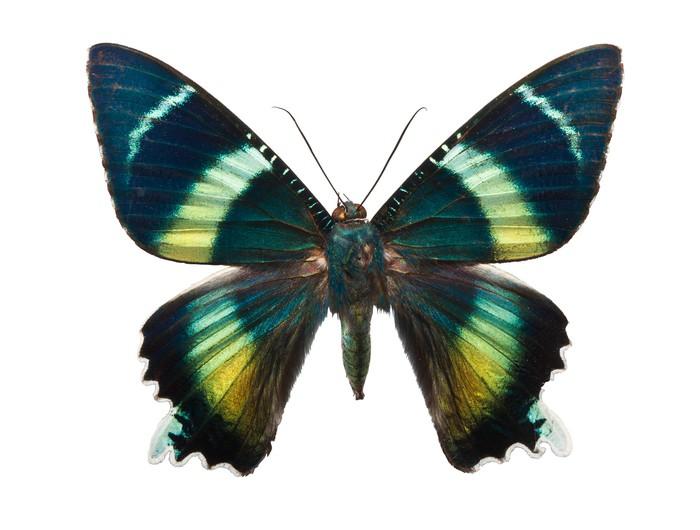 Vinylová Tapeta Butterfly Alcides argathyrsus - Ostatní Ostatní