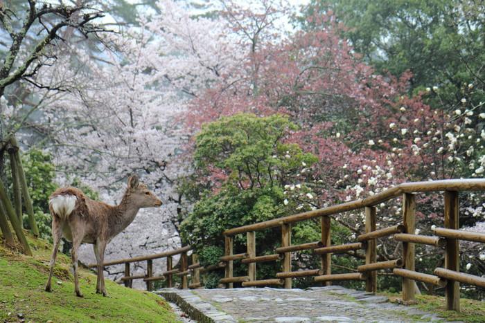 Vinil Duvar Kağıdı Nara park geyik - Mevsimler
