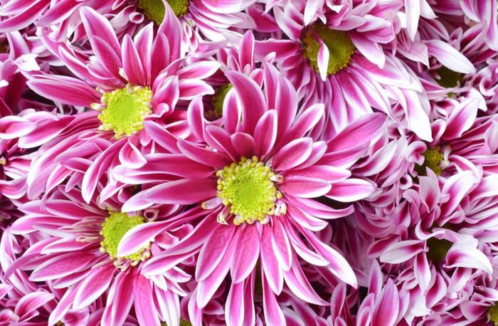 Fototapete Rosa Blume mit langen dünnen Blütenblättern und einem ...
